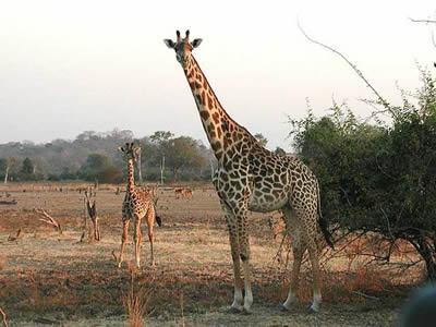 zambia-luangwa